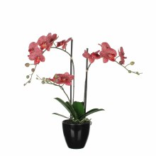 Phalaenopsis red in plastic po