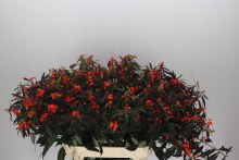 Euphorbia F T Ruby Red