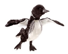 Hand Puppet: Loon