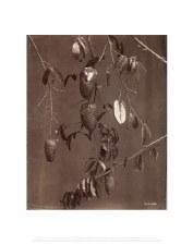 Felix Morin: Soursop Fruits - 11X14