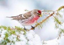 Common Redpoll in Winter - Holiday Cards