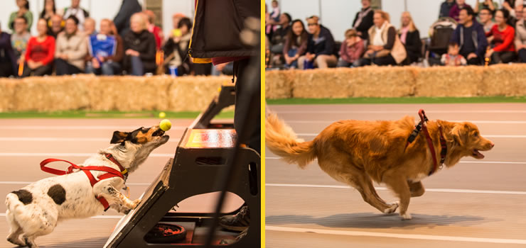 Dog competing at the Dog Lovers Show in Melbourne 2014