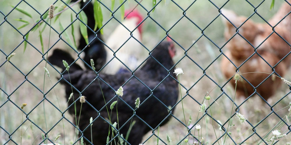 Use of mesh to Foxproof your Chicken Coop
