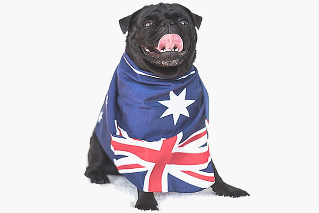 pug wearing an australian flag