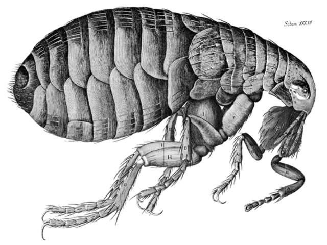 Anatomy of a Flea