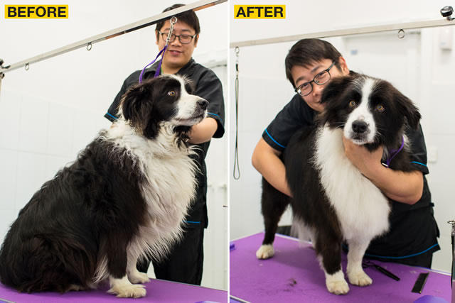 Before and after shots of a Border Collie!
