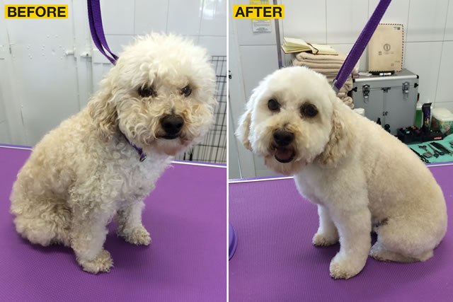 Before and after shots of one lucky Poodle!