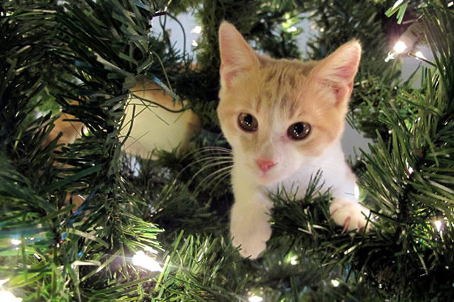 Real Christmas trees can pose a threat to cats