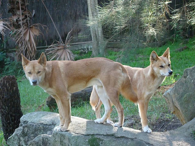 Can dogs eat raw eggs? Dingos in the wild did