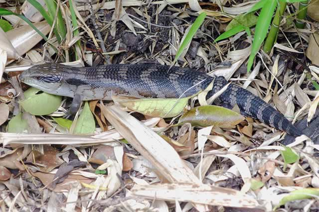 Easter Blue Tongue Lizard