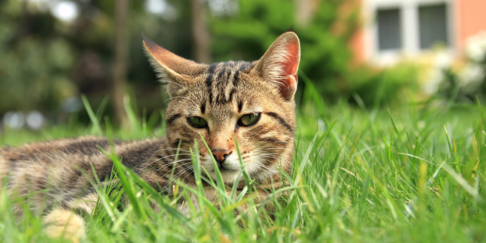 Dangers of grass seeds in cats
