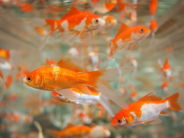 grown goldfish - do gold fish eat one another