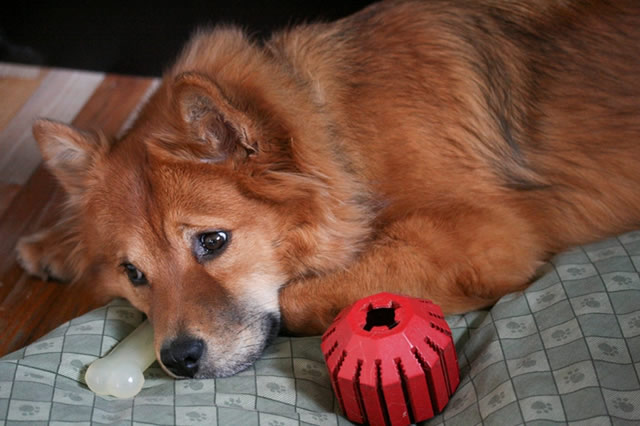 A dog is bored with his toys!