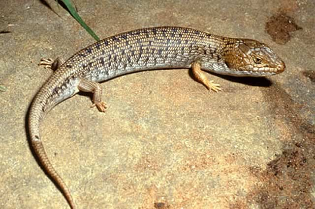 Pygmy Blue Tongue Lizard