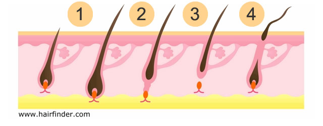 Shedding hair growth cycle