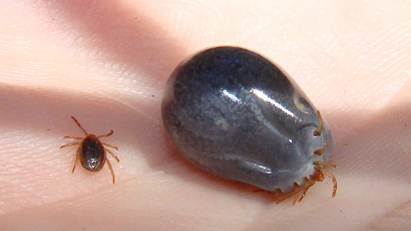 Tick before and after feeding