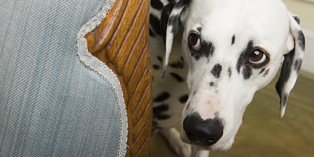 Timid dog hides behind sofa