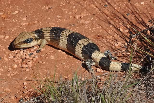 Western Blue Tongue Lizard
