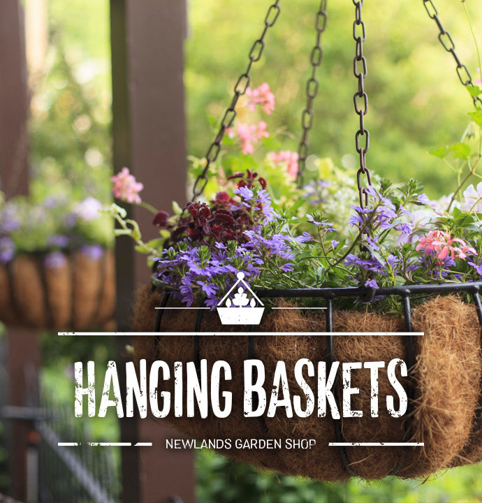 Colours Planted /& Grown Baskets Patios for Containers Bacopa Great Pink Beauty Beds A Full Tray of 15 Large Plants 10.5cm 1//2ltr Garden Ready Flowering Pot Bedding Doorstep Plants