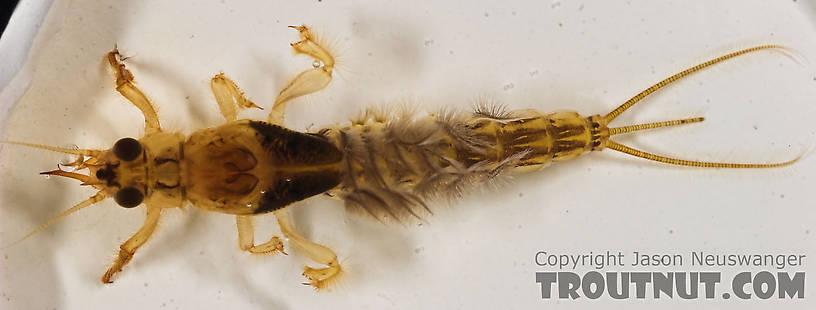 troutnut brown drake nymph