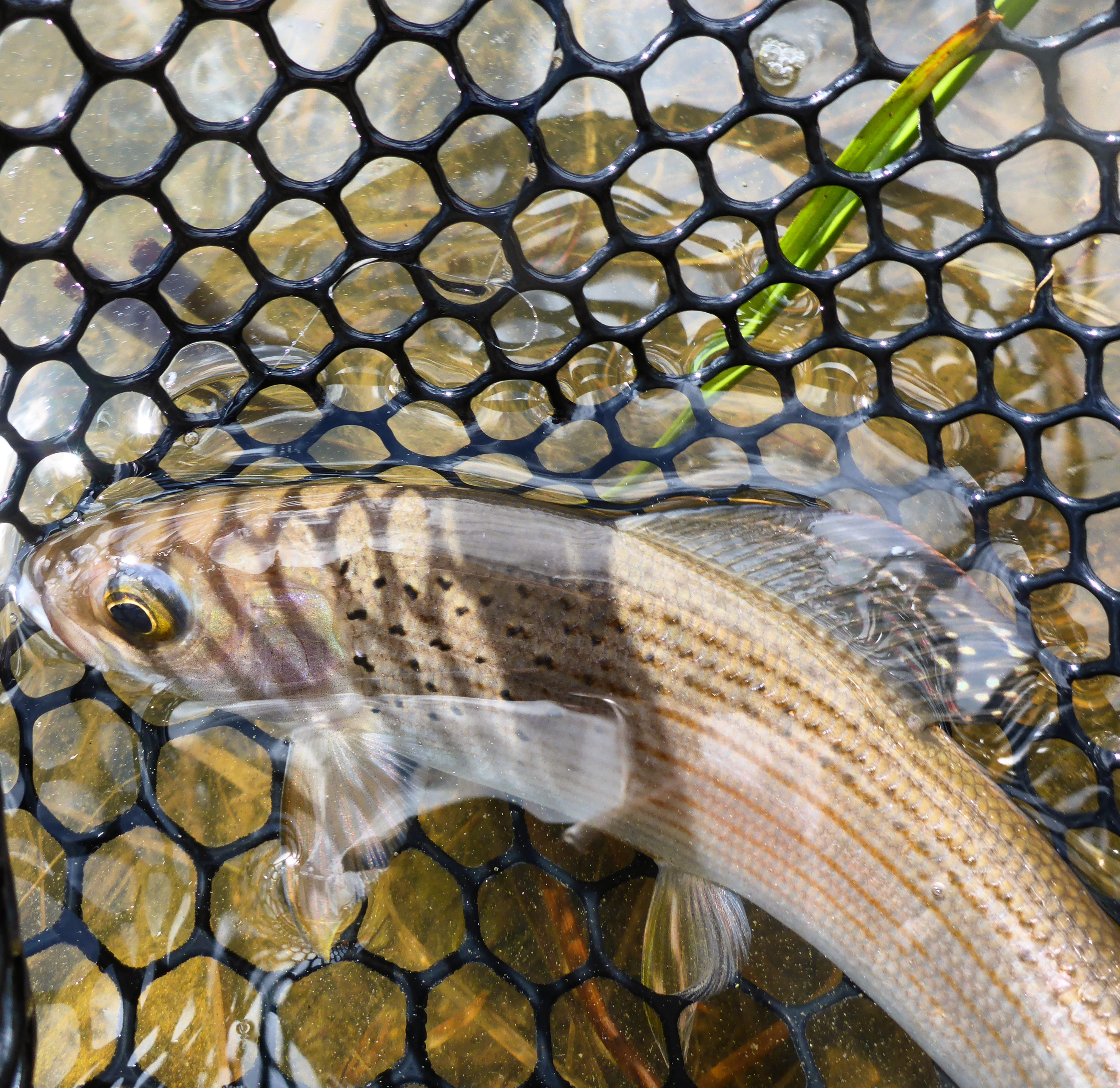 Alberta Grayling Loop Tackle