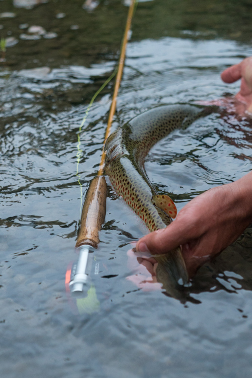 Evotec CAST medium Brown trout
