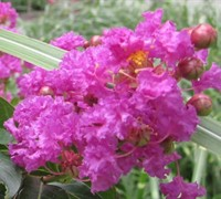 Assorted Crapemyrtles