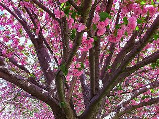 Cherry Ornamental-Prunus