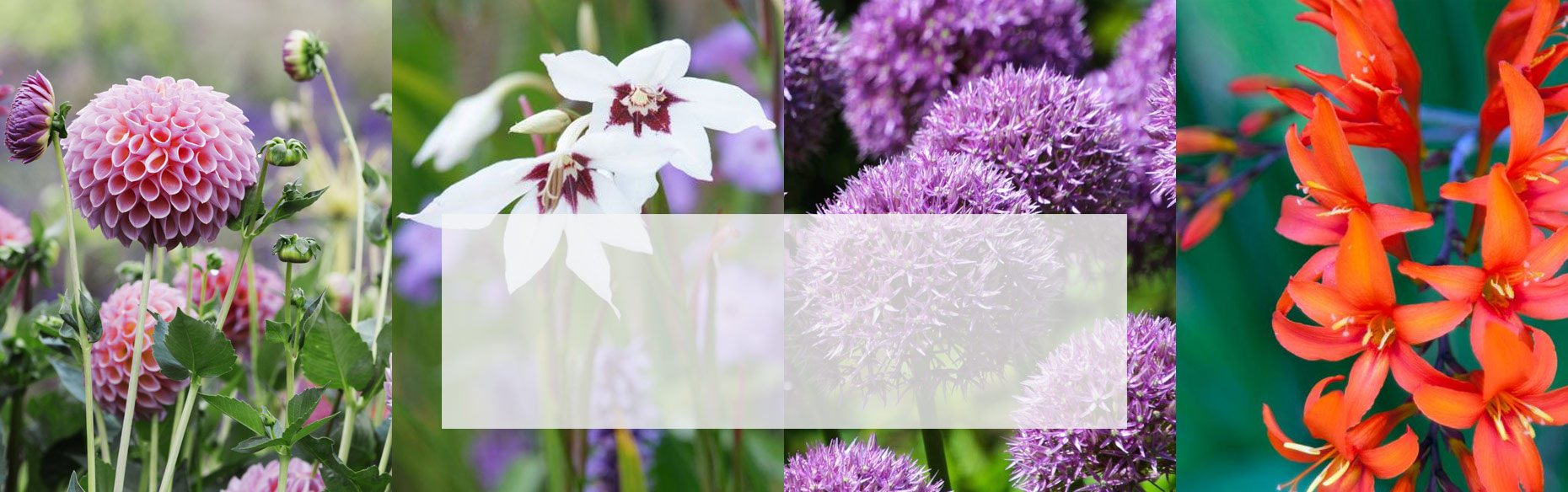Order your summer bulbs today