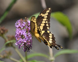 Drumlin Farm Wildlife Sanctuary Butterfly Garden, Henrietta Yelle, Mass Audubon