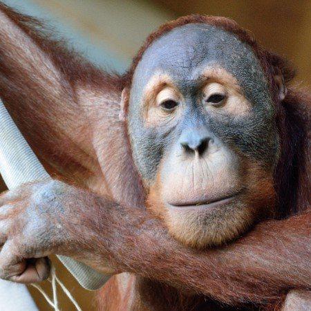 -Orangutan Special Package-