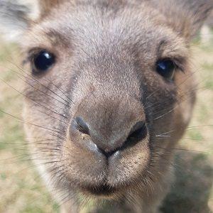 -Kangaroo Valentine's Special-