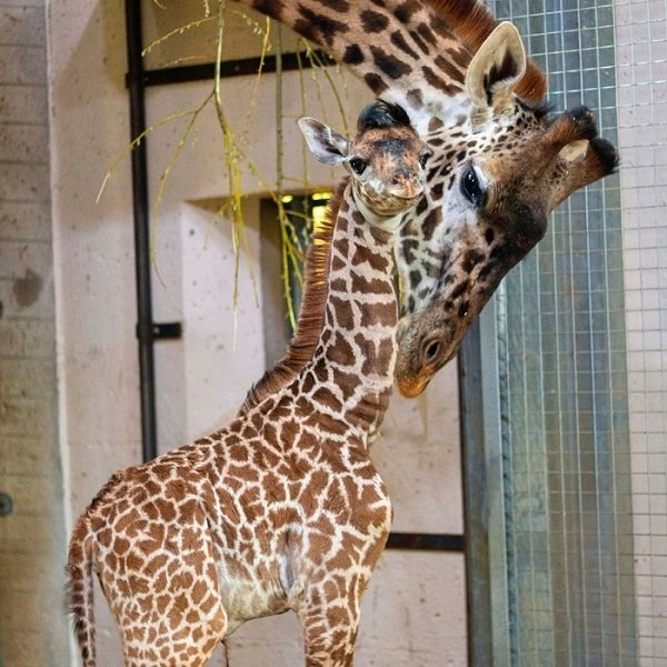-Giraffe Mother's Day Package-
